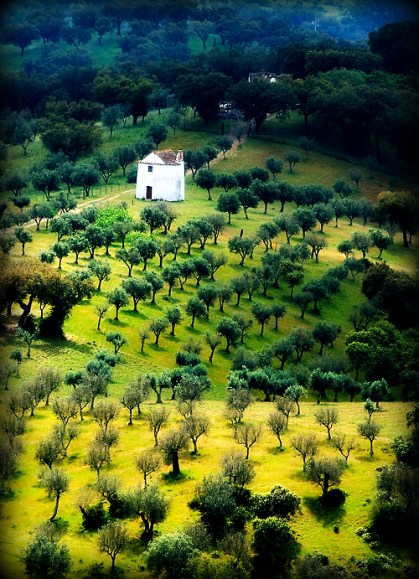 olive fields