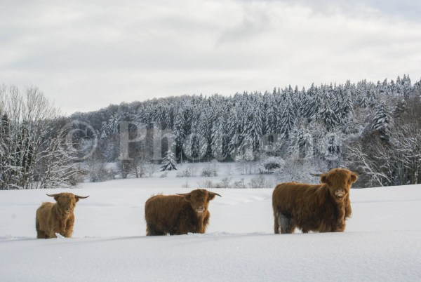 Vaches Highland - Corravillers
