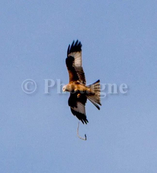 Aigle au-dessus de Bedous, nous accueillant avec une branche !