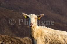 Portrait d'une chèvre au Mailh Agor