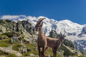 Etagne (femelle du bouquetin) et son cabri devant le Mont Blanc