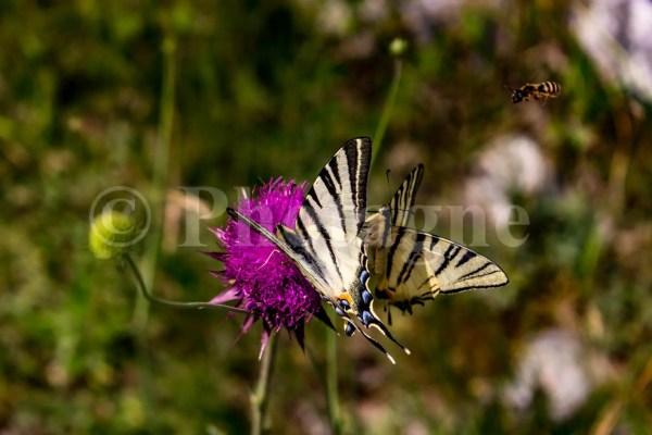 Flambés et abeille près de Trieste