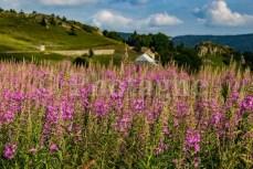 Épilobes en Ardèche