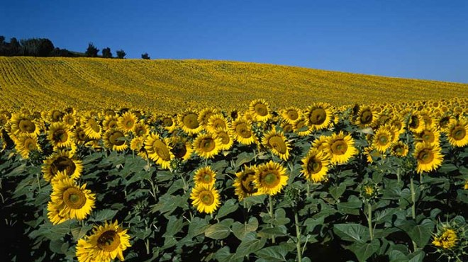 Champ de Tournesols©photo Patrick Clermont