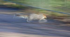 panning-photography-runing-squirrel