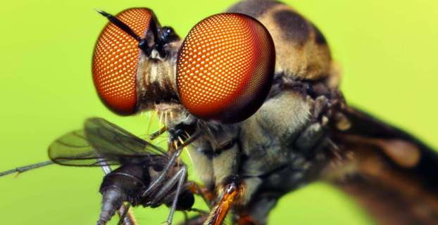 how to photograph insects - Robber Fly