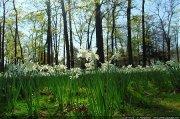 Narcisses au Parc Floral