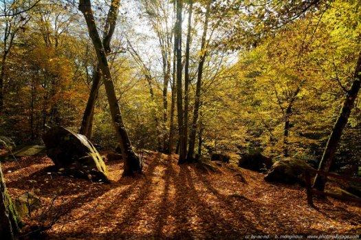 Automne dans la forêt de Rambouillet, le soleil transperce les feuillages dorés