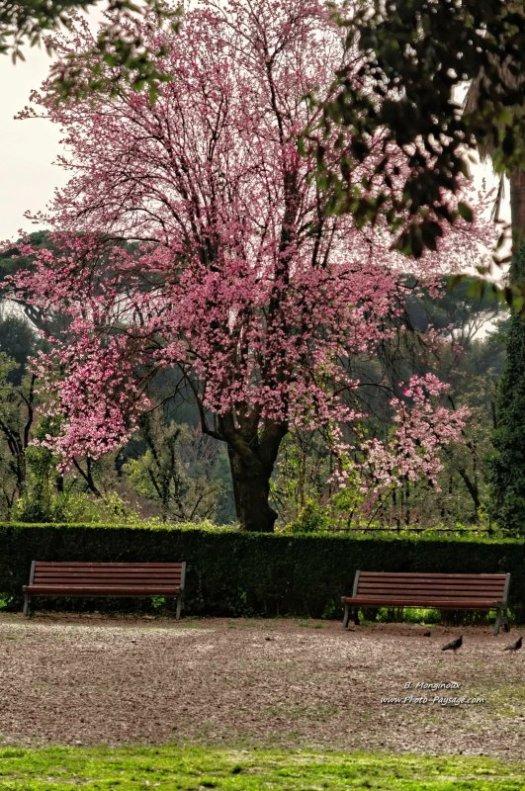 Arbre en fleurs photographié dans le parc de la Villa Borghèse, à Rome, Italie