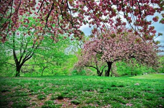 En avril de nombreux cerisiers fleurissent dans Central Park, pour le plus grand plaisir des promeneurs.