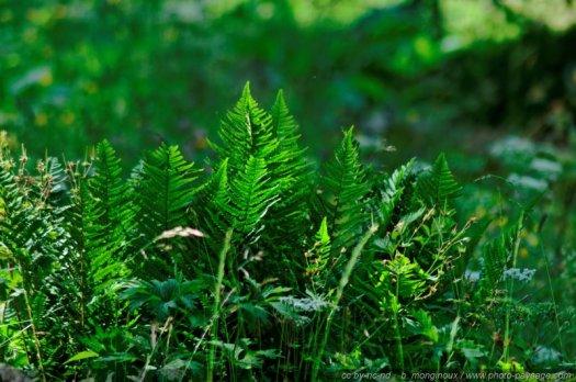 Fougères en lisière de bois dans une forêt alpine
