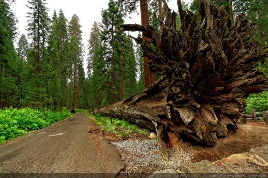 Le Fallen Monarch, séquoia géant gisant sur le sol de la forêt depuis plusieurs siècles.