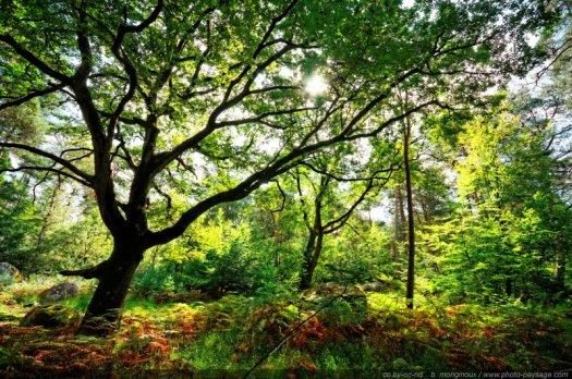 Un chêne majestueux dans la forêt de Fontainebleau