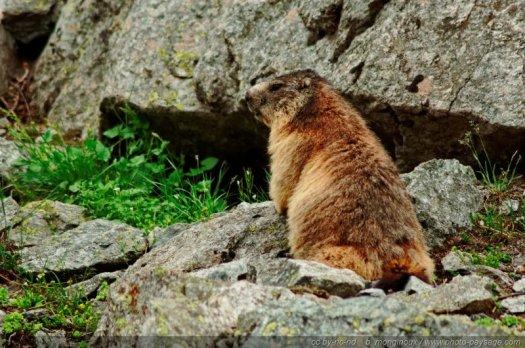 Une marmotte sur un rocher dans le parc national des Ecrins (Alpes)