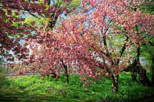 Cerisiers en fleurs dans Central Park