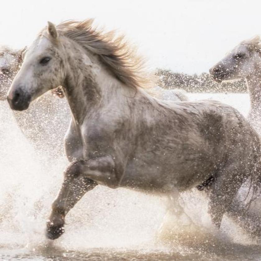 Witte paarden van de Camargue door Jennifer King