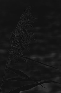 schilf - PHOTOGALERIE WIESBADEN - dunkel-schwarz