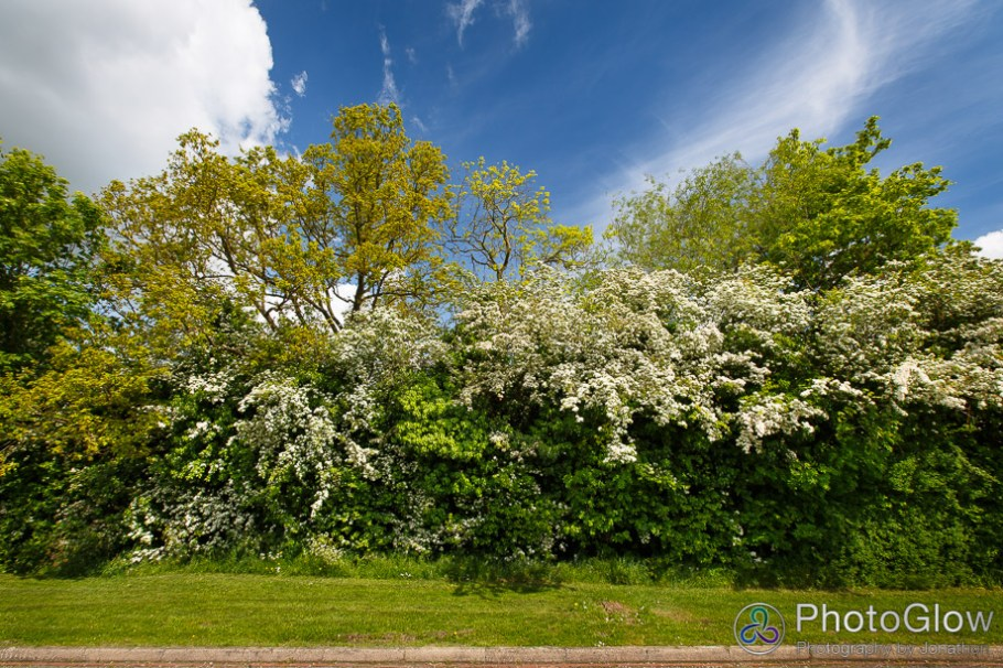 Mature hedgerow covered in blossom viewed from Campden Road