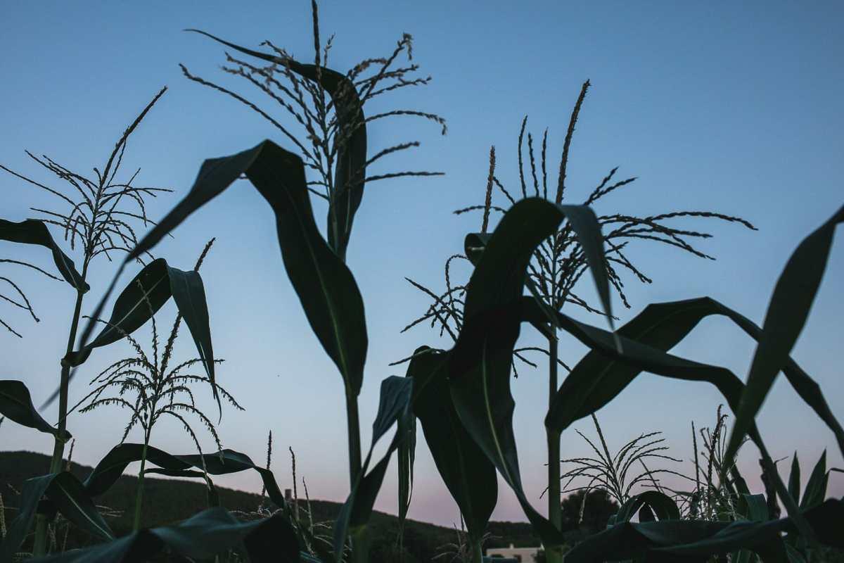 fotografía de un cultivo de maiz a la hora del atardecer en la parcela de Can Puvil en ibiza