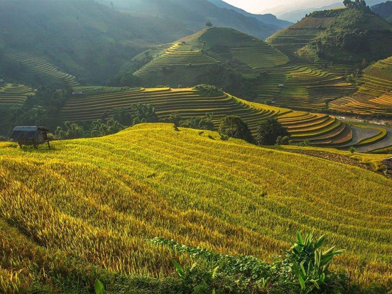 green rice paddies - sa pa vietnam