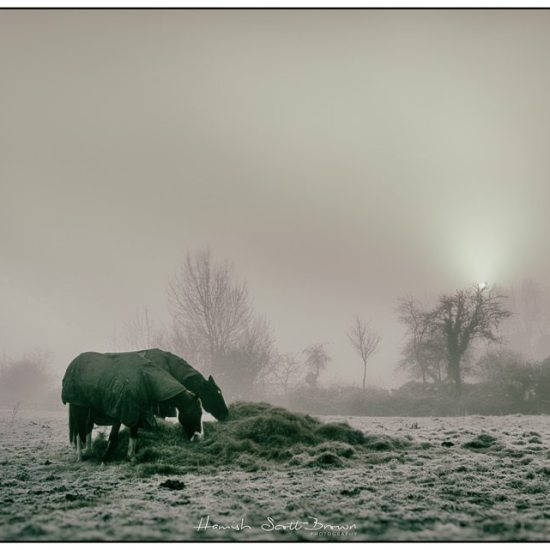 horses at dawn on a misty morning warwickshire © Hamish Scott-Brown