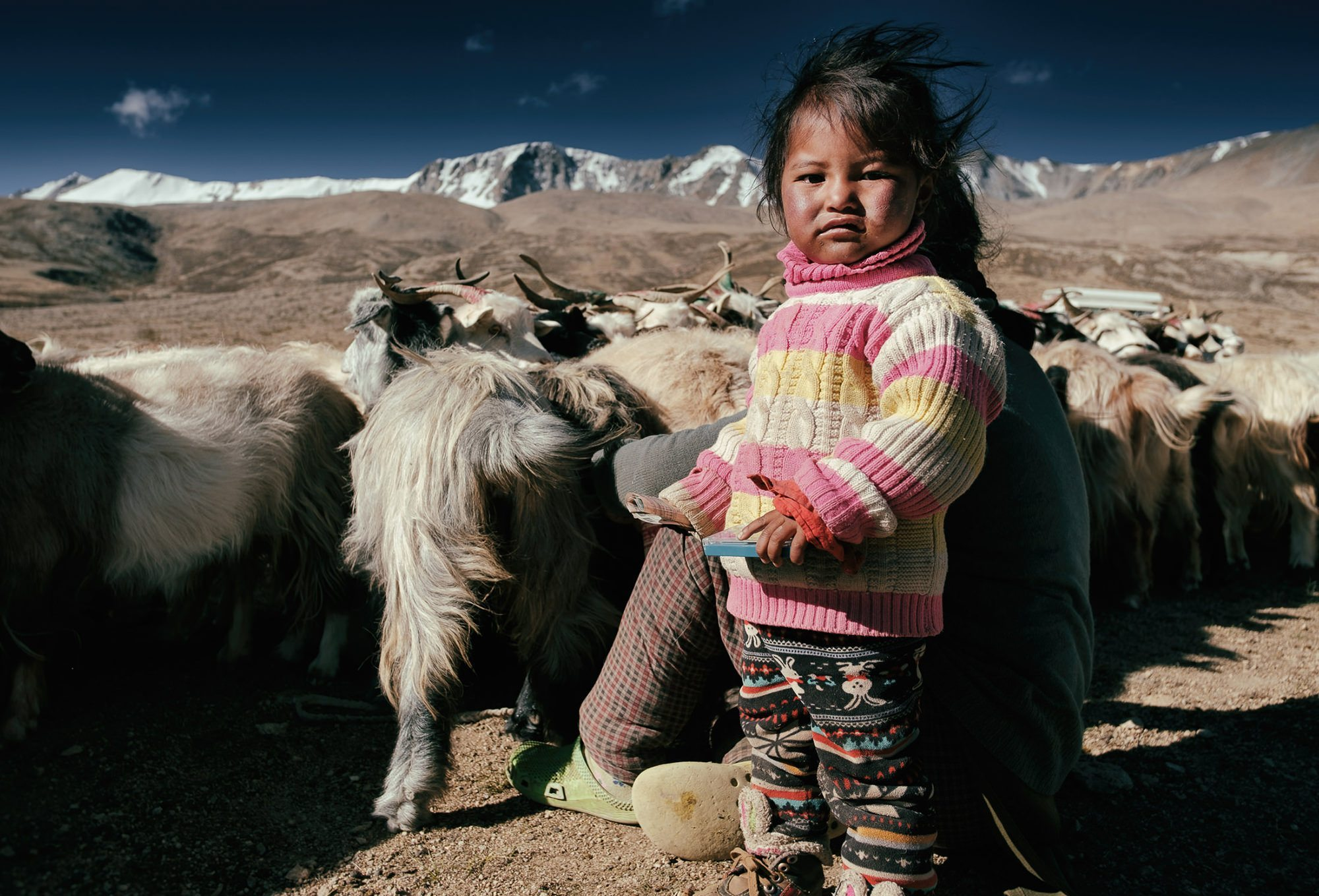a young Changpa girl helps her mother milk the goats near Tso Moriri Lake, Ladakh