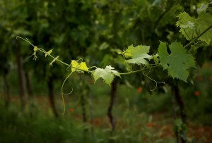 Spring Grapevine, Tuscany