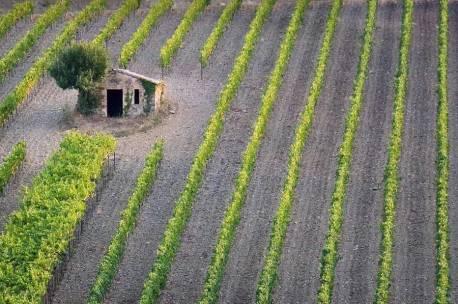 Vineyard, Montalcino, Tuscany