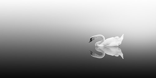 Lone swan gently floats in a lake, silent and still. Black and white.