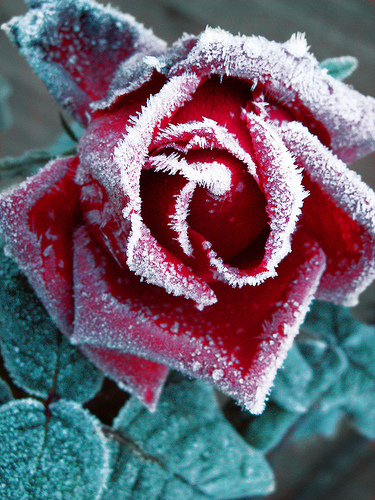 Rose Red; Frost White flower