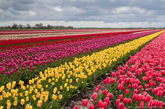 Image result for images of tulip fields