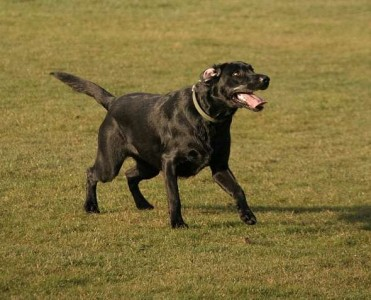 Photographing dogs :: Having fun - Black Labrador comfortable with the camera