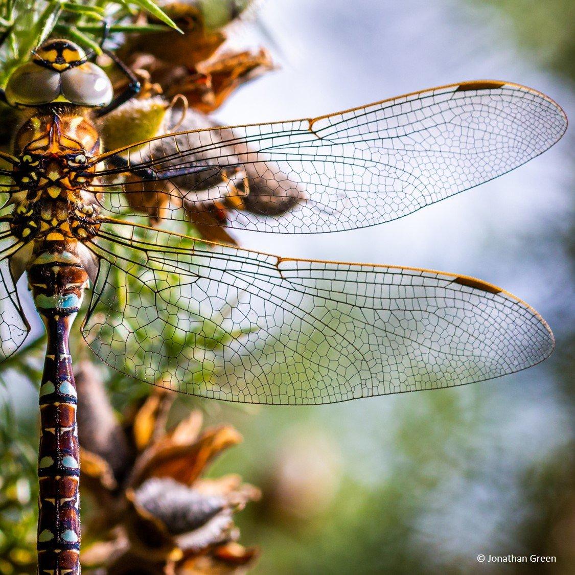 3 Dragonfly_North York Moors_Jonathan Green