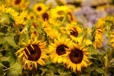 Sunflower Trio by Liz Sette