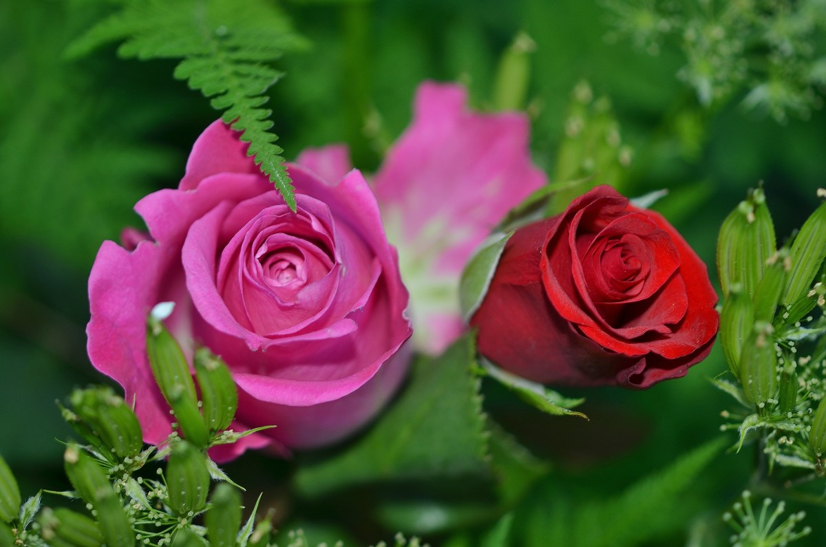 Roses in different colors and green leaves