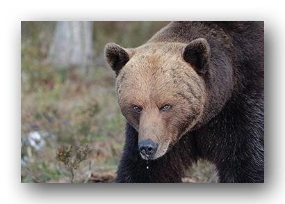 Quoi faire si vous rencontrez un ours ? | Blog Authentik Canada