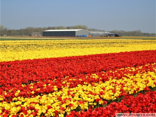 Flowers and Bulb Farms in the Bollenstreek, Holland