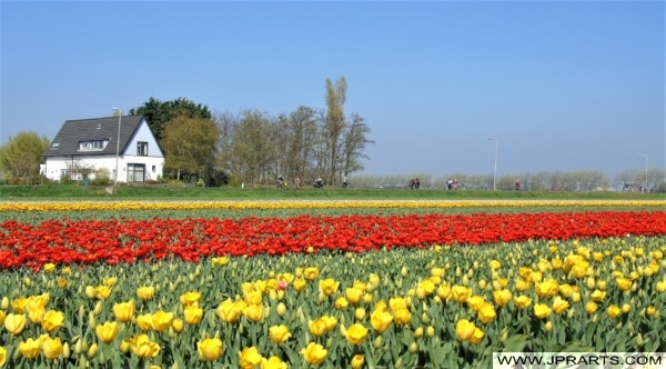 Tulips in the Bollenstreek, the Netherlands