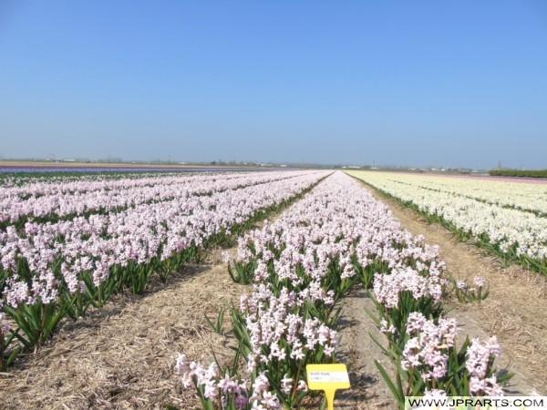 Hyacinth White Pearl in de Bollenstreek, Nederland