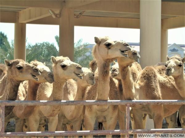 مزرعة الجمال (الجنبية ، البحرين)