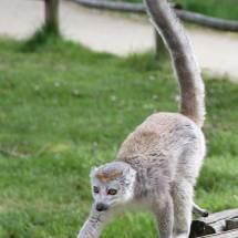 Lémur couronné