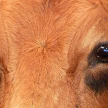 Yeux de vache