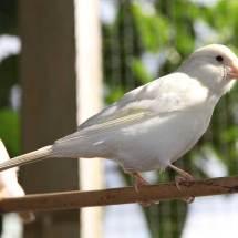 Canari mâle blanc
