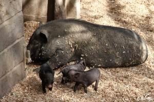 bébés cochons