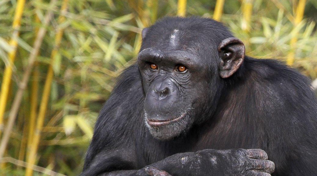Chimpanzé, adulte, mâle, Touroparc, novembre 2017
