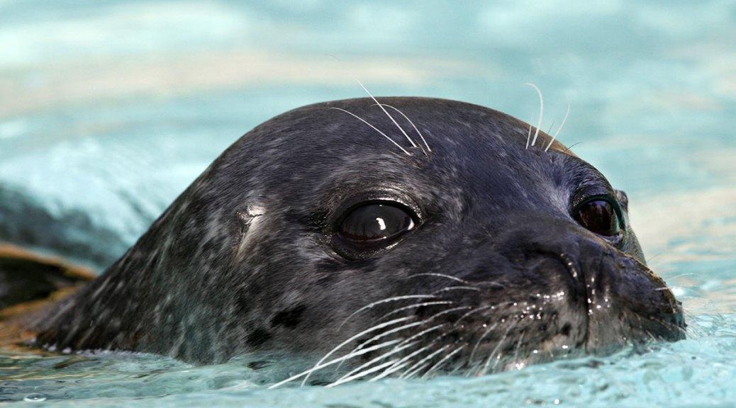 Jeune phoque veau marin, Touroparc, novembre 2017
