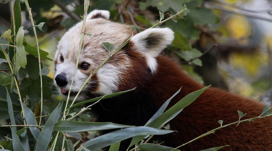 Panda roux, Touroparc Zoo, novembre 2017