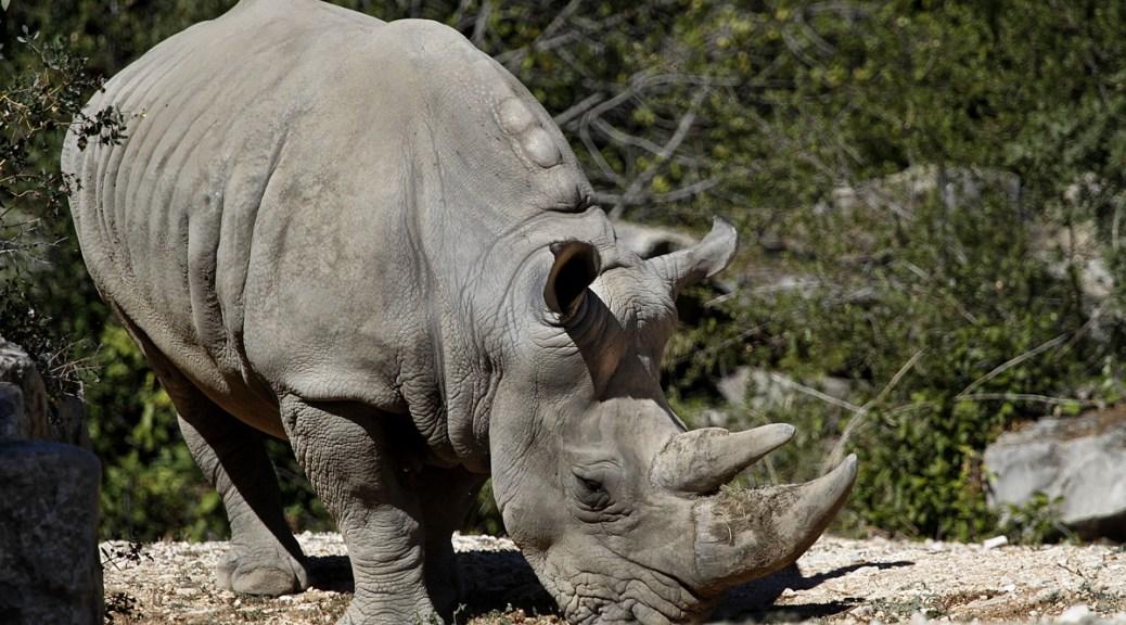 Rhinocéros blanc, zoo de Lunaret, Montpellier, septembre 2018