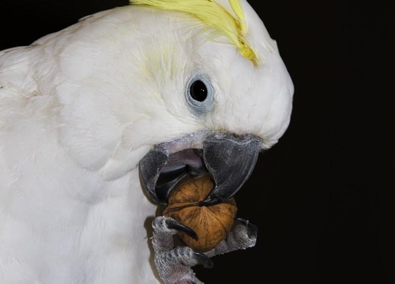 Cacatoès à huppe jaune cassant une noix, 2019