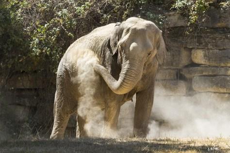 Eléphant d'Asie, Le Pal (Allier), juillet 2019